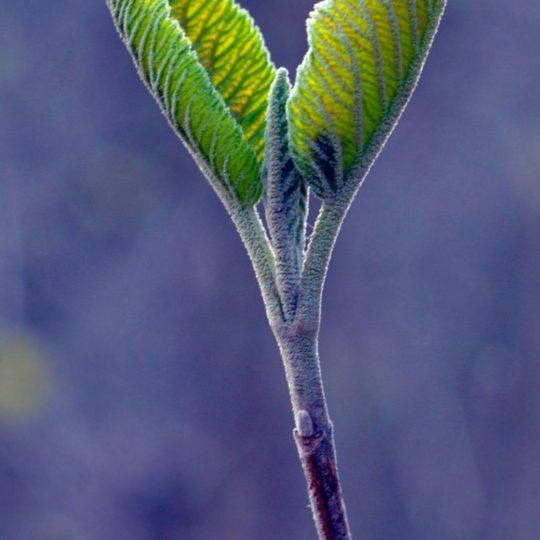 葉自然緑ぼかし青の Android スマホ 壁紙