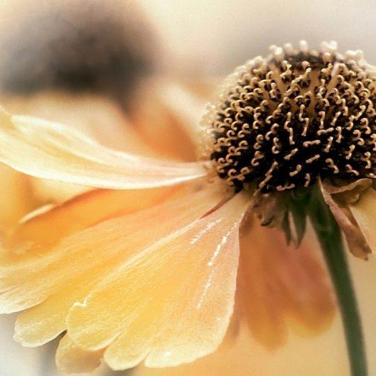 自然花黄の Android スマホ 壁紙