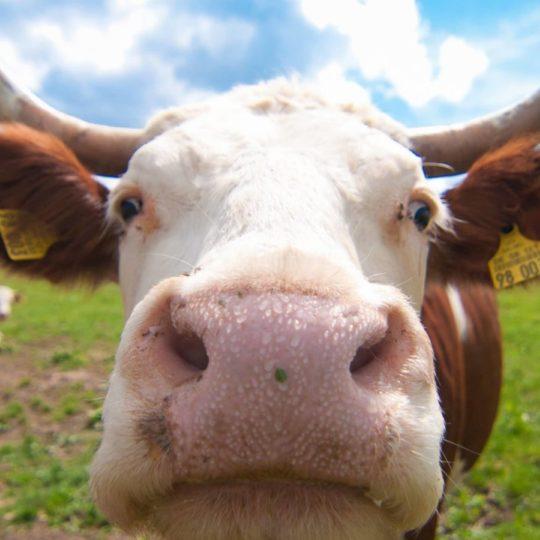 牛ぼかし自然動物の Android スマホ 壁紙