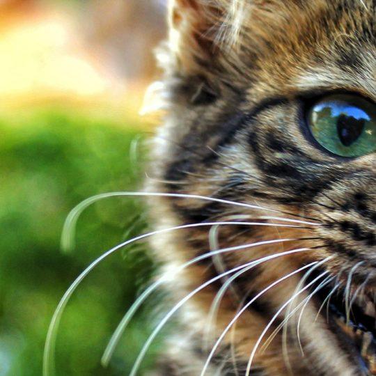 動物猫キジトラの Android スマホ 壁紙