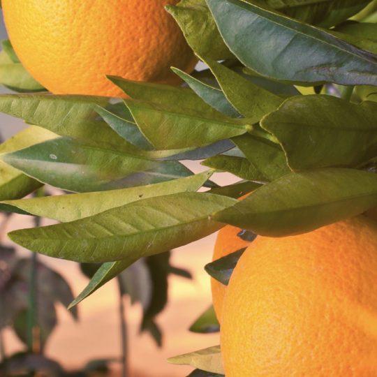 果物緑風景橙フードの Android スマホ 壁紙