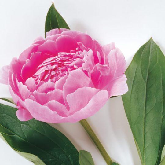 花自然桃緑の Android スマホ 壁紙