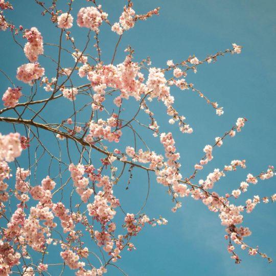 花桜春桃の Android スマホ 壁紙