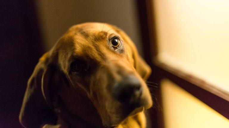 動物犬茶色の Desktop PC / Mac 壁紙