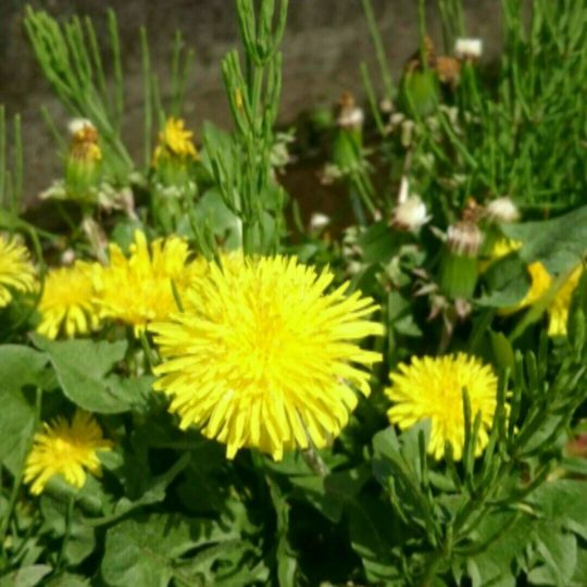 Dandelion yellow Android SmartPhone Wallpaper