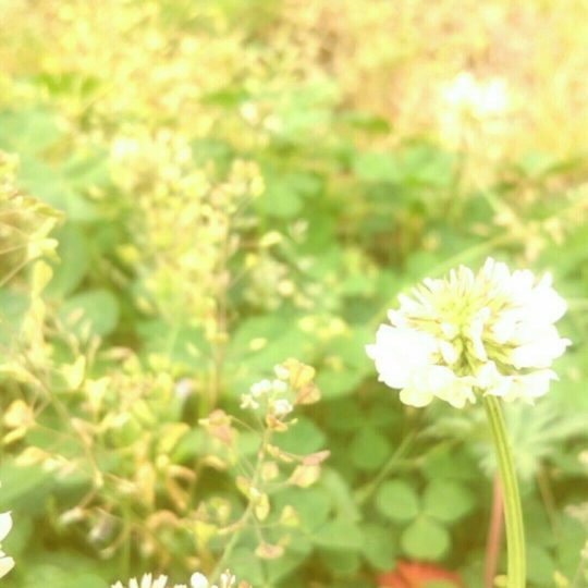 field wild white clover Android SmartPhone Wallpaper