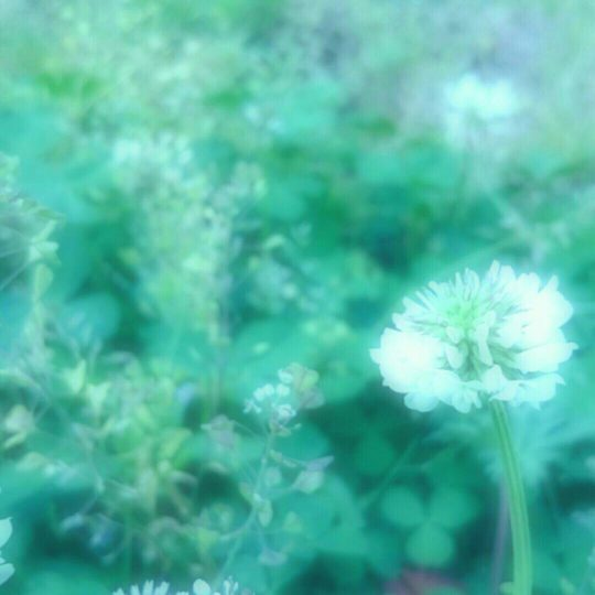 White clover flower Android SmartPhone Wallpaper
