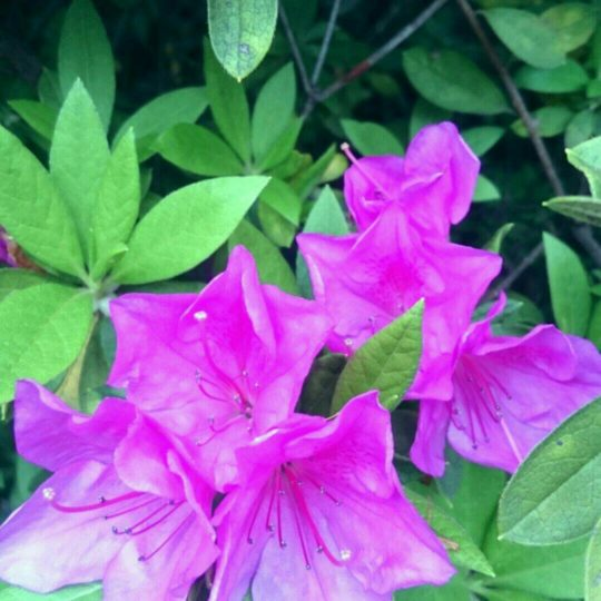 Azalea Flower Android SmartPhone Wallpaper