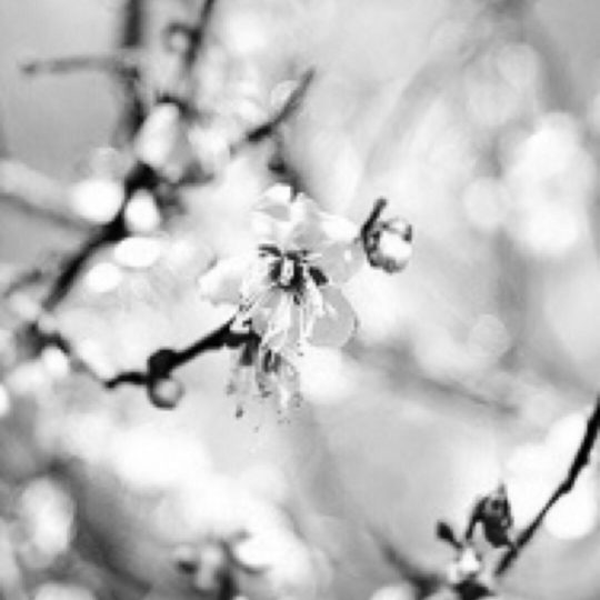 Cherry black and white Android SmartPhone Wallpaper