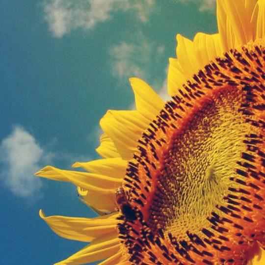 Sunflower sunflower Android SmartPhone Wallpaper