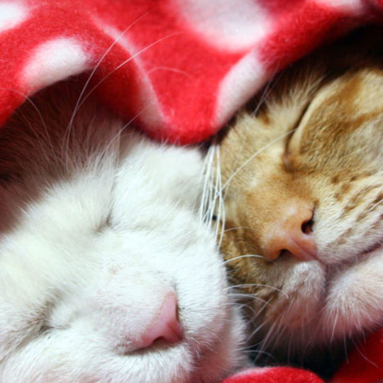 Cat blankets Android SmartPhone Wallpaper