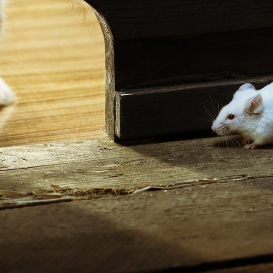 Animal mouse Android SmartPhone Wallpaper