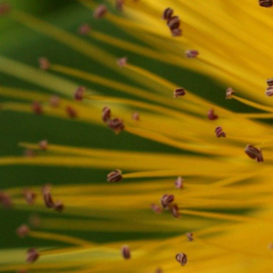 Natural yellow stamen Android SmartPhone Wallpaper