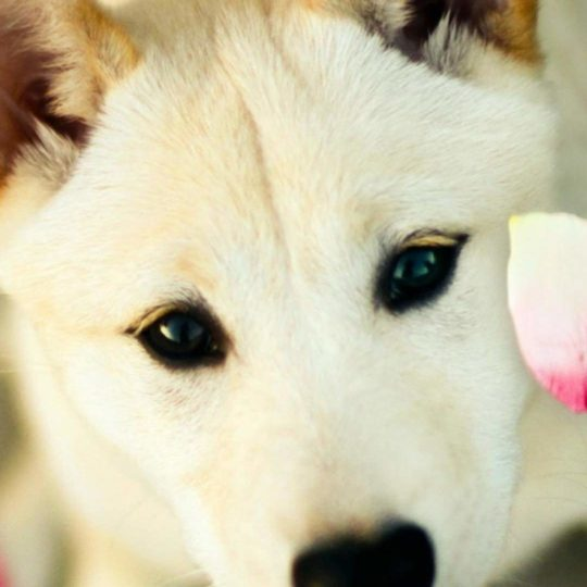 Animal dog white Android SmartPhone Wallpaper