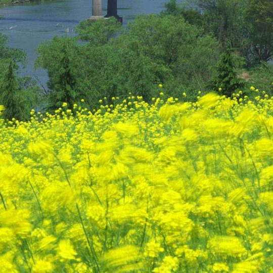 Landscape flower garden yellow Android SmartPhone Wallpaper