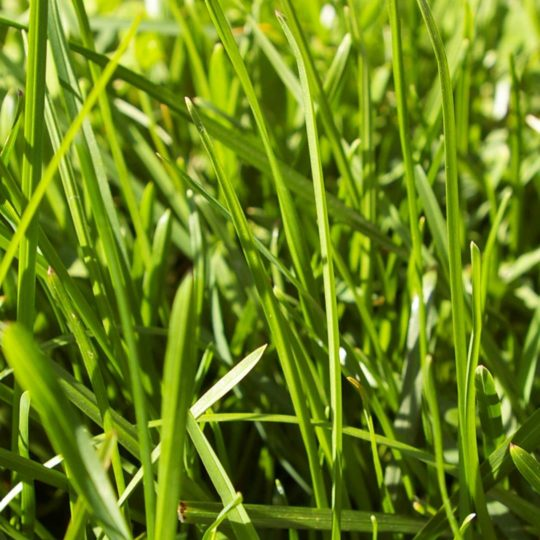 Natural grass green Android SmartPhone Wallpaper