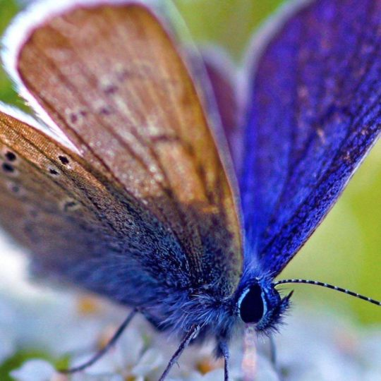 Animal butterfly Android SmartPhone Wallpaper