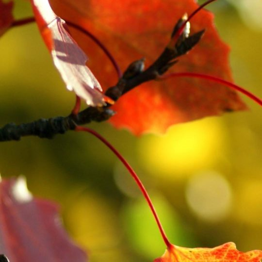 Natural red autumn leaves Android SmartPhone Wallpaper