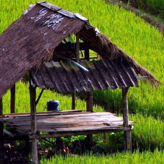 Landscape rice paddy Android SmartPhone Wallpaper