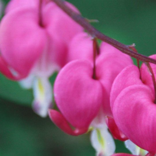 Natural  flower  pink Android SmartPhone Wallpaper