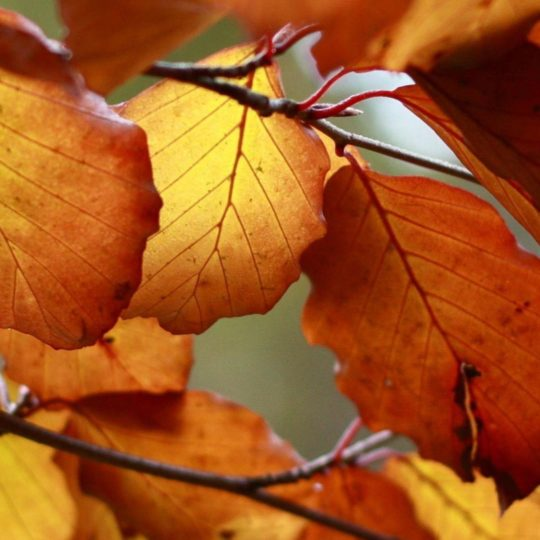 Autumn Leaves Nature Android SmartPhone Wallpaper