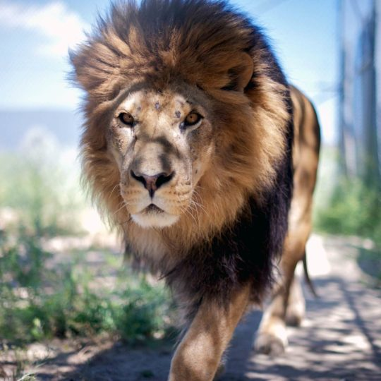 Animal lion Android SmartPhone Wallpaper
