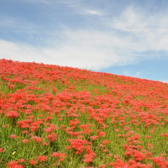 Landscape flower garden red Android SmartPhone Wallpaper