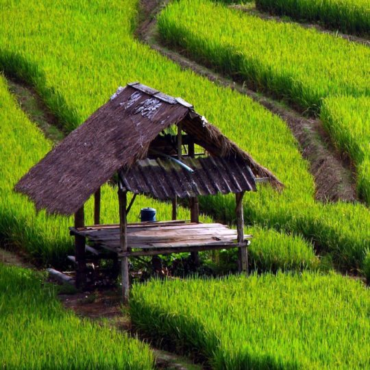 Green rice fields landscape Android SmartPhone Wallpaper