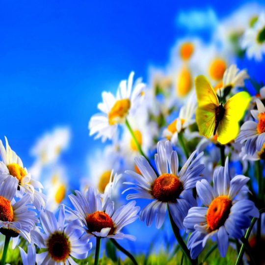 Natural  flower  white  blue Android SmartPhone Wallpaper