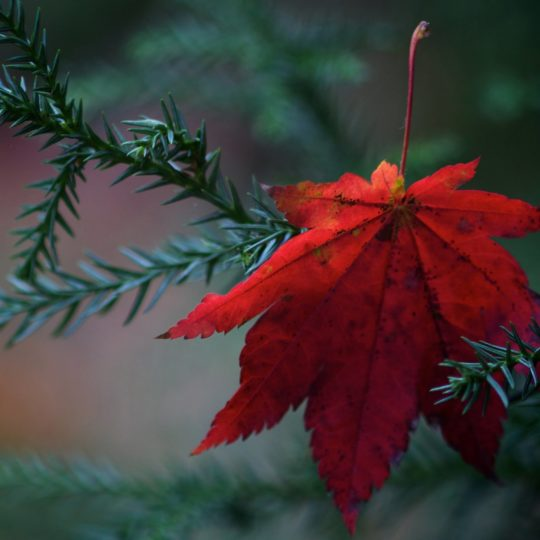 Natural autumn leaves red green Android SmartPhone Wallpaper
