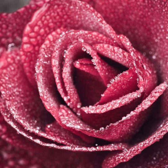 flower  red Android SmartPhone Wallpaper