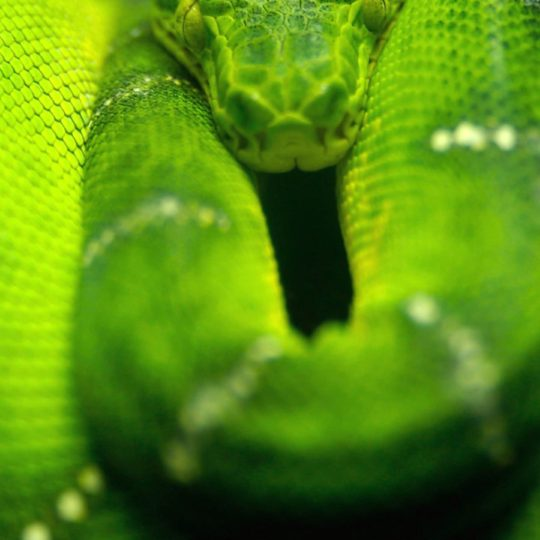 Animal snake green Android SmartPhone Wallpaper