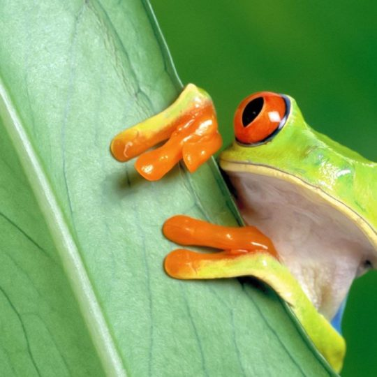 Animal frog green Android SmartPhone Wallpaper