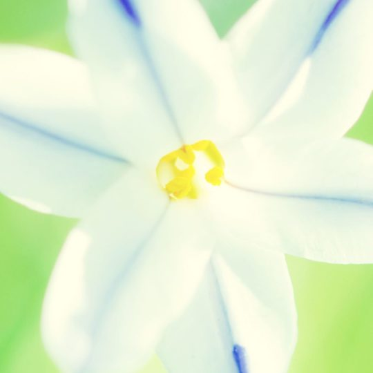 Natural  flower  white Android SmartPhone Wallpaper