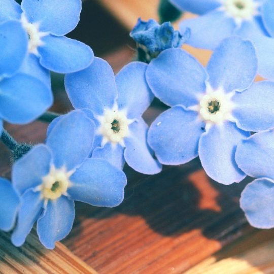 Natural  flower  blue Android SmartPhone Wallpaper