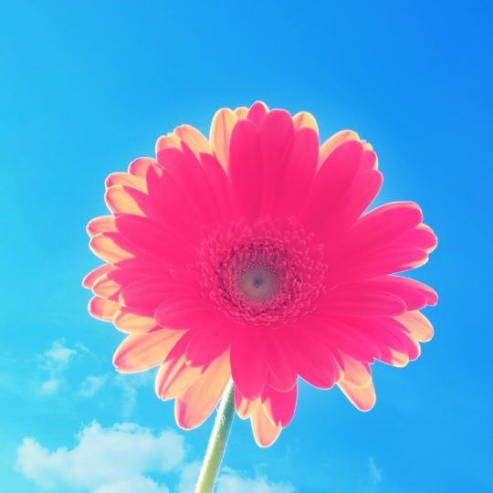 flower  sky  blue  red Android SmartPhone Wallpaper