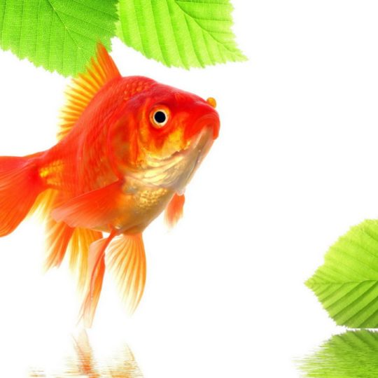 Goldfish green red Android SmartPhone Wallpaper