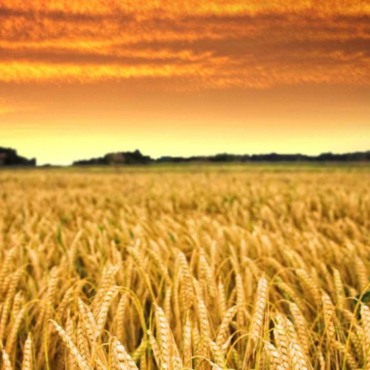 Rice scenery sky sunset Android SmartPhone Wallpaper