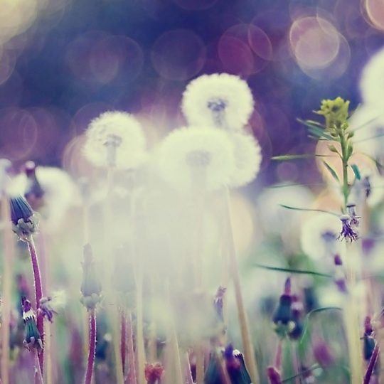 Dandelion blur Android SmartPhone Wallpaper