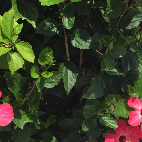 Plant hibiscus flower red green Android SmartPhone Wallpaper
