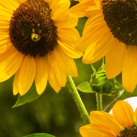 Sunflower yellow Android SmartPhone Wallpaper