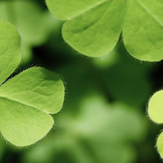Clover plant green Android SmartPhone Wallpaper