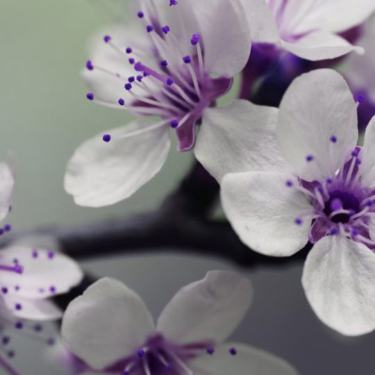 Plant flowers white purple Android SmartPhone Wallpaper