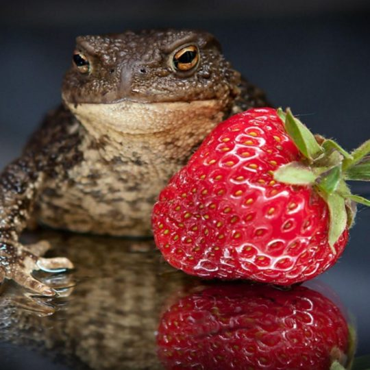 Food animal strawberry frog Android SmartPhone Wallpaper