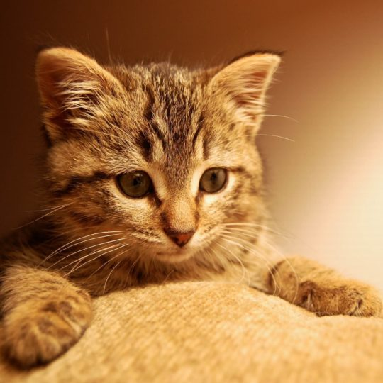 Cat kitten Android SmartPhone Wallpaper