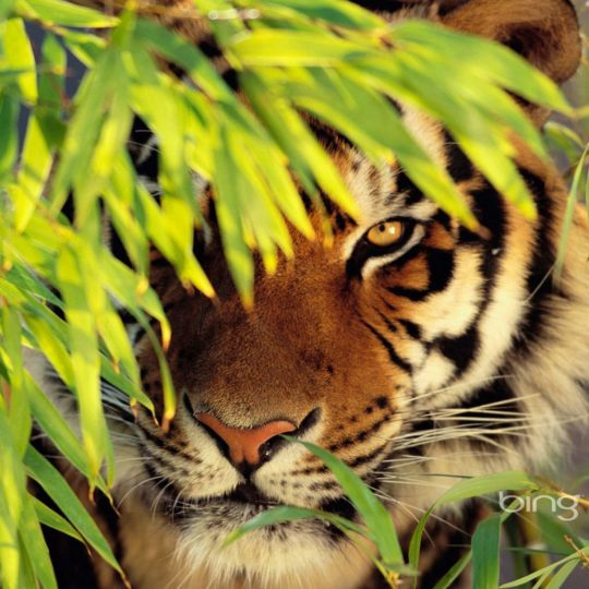 Animal tiger Android SmartPhone Wallpaper