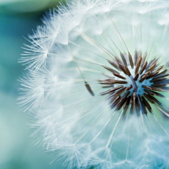 Natural white dandelion Android SmartPhone Wallpaper