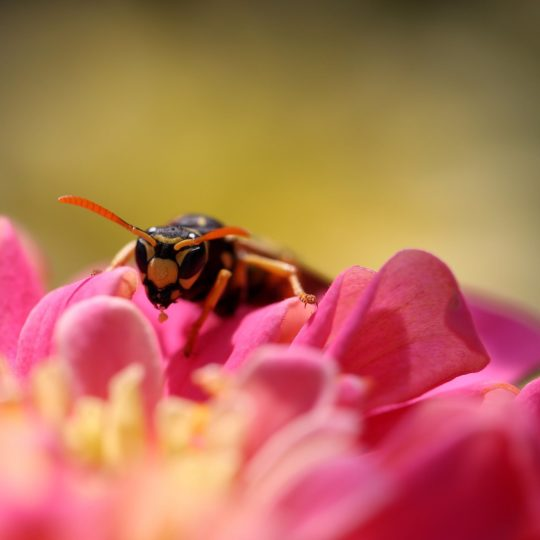 Bee insect blur flower Android SmartPhone Wallpaper