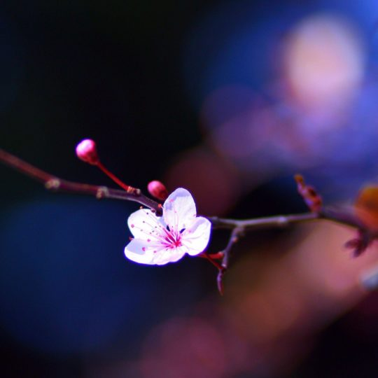 flower  pink  blur night Android SmartPhone Wallpaper