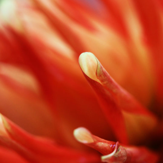Red Floral Blur Android SmartPhone Wallpaper